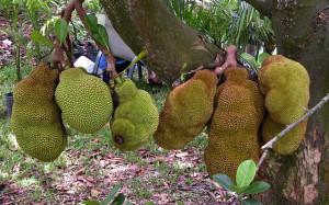 Bengal jackfruit
